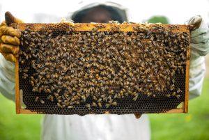 albine pe rama