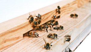 albine la urdinisul stupului