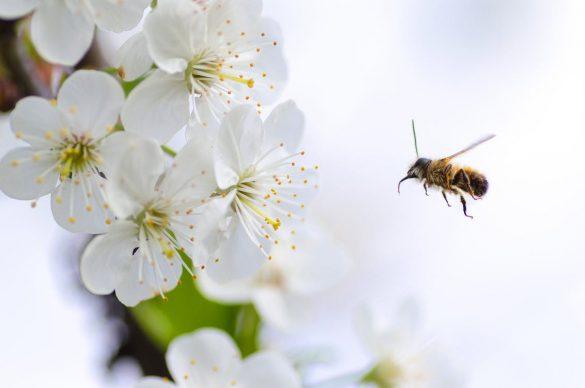 Albina culege polen de pe floare