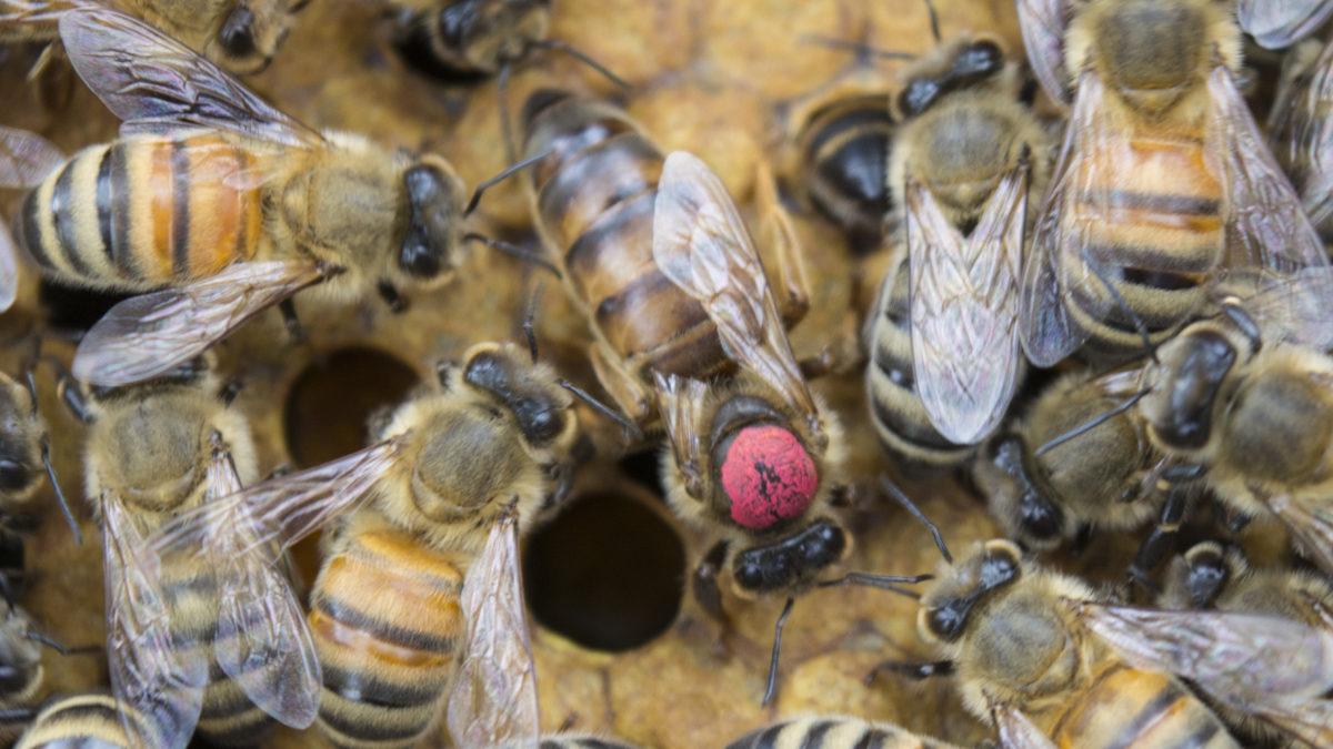 Ce trebuie sa stii despre matca, regina albinelor